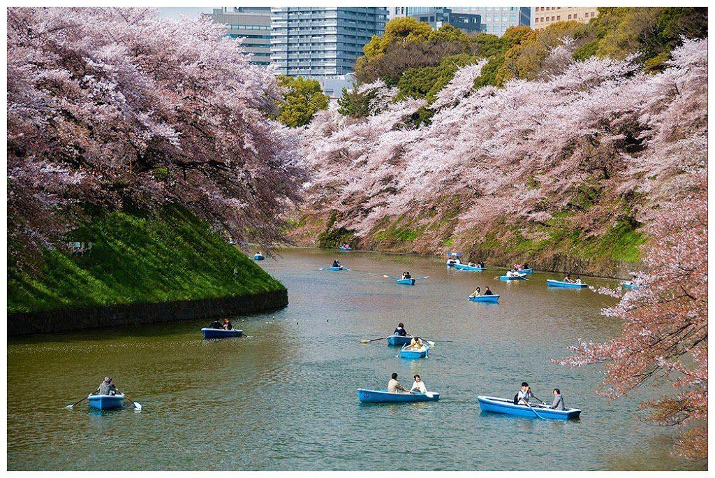 Cherry blossom at Chidorigafuchi moat