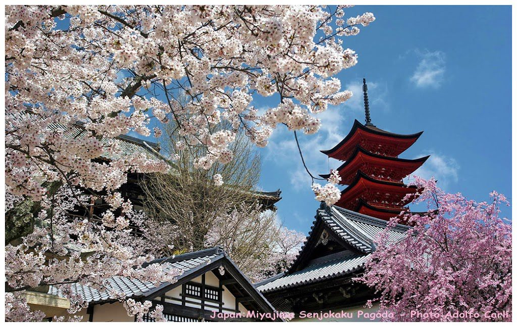 Cherry blossomseason in Miyajima