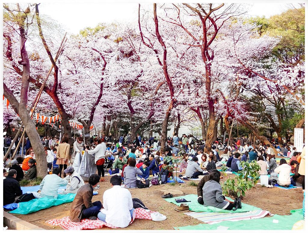 Hanami cherry blossom in Japan