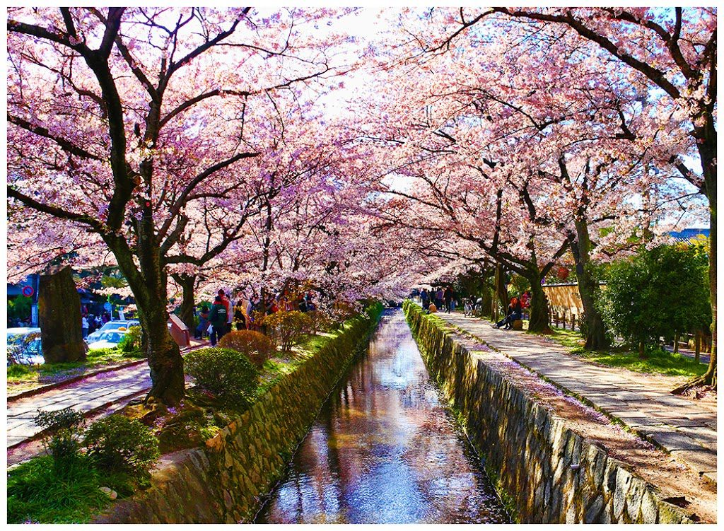 Cherry blossom at Philosopher's Path Kyoto