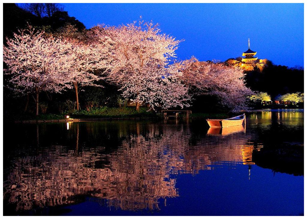 Cherry blossom at Sankeien Garden
