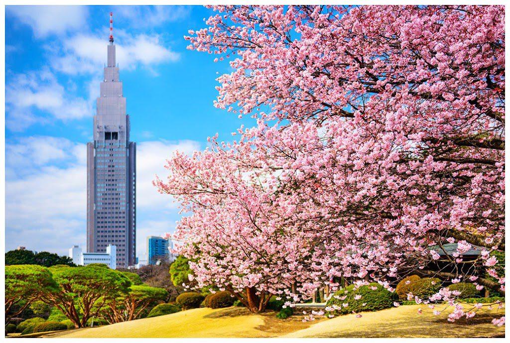 Cherry blossom Shinjuku