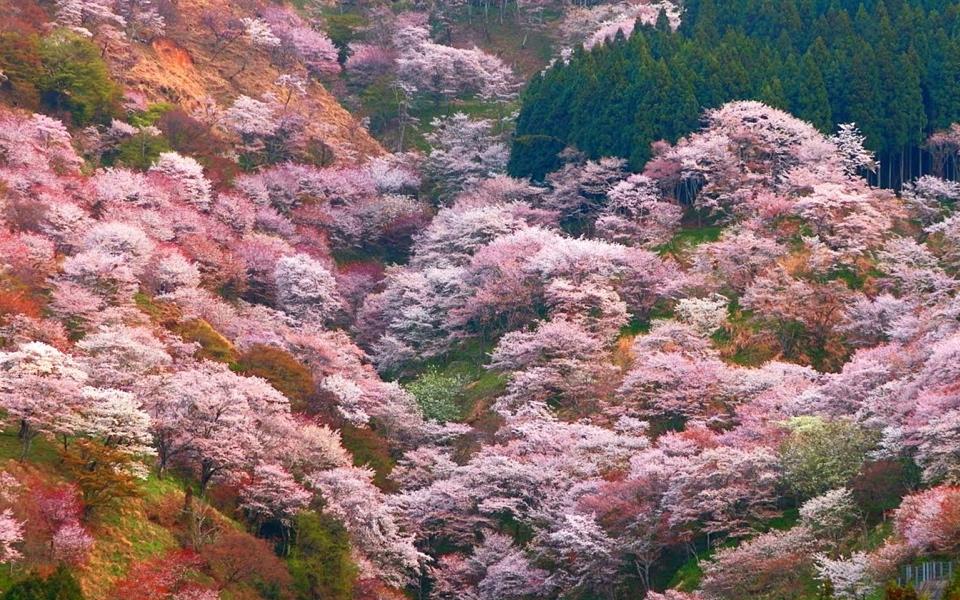 Cherry Blossom at yoshinoyama