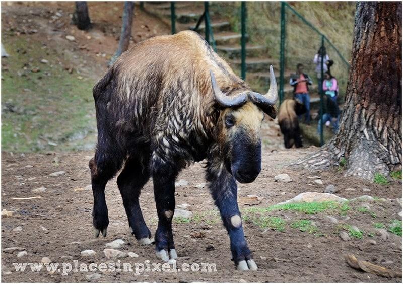 takin thimphu bhutan